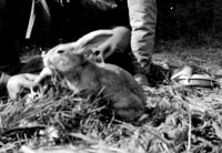 A pet rabbit in wartime